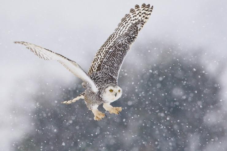 snowy-owl-flying-across-a-field-in-falling-snow